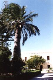 La palma Jubaea Chilensis di età stimata attorno ai 150 anni