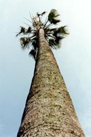 La palma Washingtonia Robusta di età stimata attorno ai 150 anni